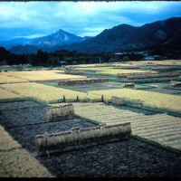 Japan, 1951:  Rice Cultivation, harvesting rice