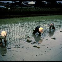 Japan, 1951:  Rice cultivation, planting by hand